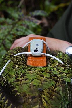 Kakapo (Strigops habroptilus) with radio transmitter attached, Codfish Island, New Zealand  -  Stephen Belcher