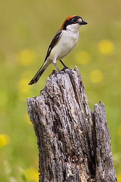 Woodchat Shrike (Lanius senator), Retamosa, Extremadura, Spain  -  Gerard de Hoog/ NiS