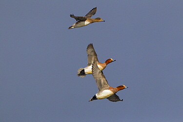 Eurasian Wigeon (Anas penelope) males and female flying, Starrevaart, Zuid-Holland, Netherlands  -  Gerard de Hoog/ NiS