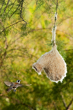 Eurasian Penduline-Tit (Remiz pendulinus) flying towards nest, Seville, Spain  -  Ramon Navarro/ NiS