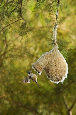 Eurasian Penduline-Tit (Remiz pendulinus) at nest entrance, Seville, Spain  -  Ramon Navarro/ NiS