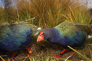 Takahe (Porphyrio mantelli) pair outfitted with radio transmitters, South Island, New Zealand  -  Stephen Belcher