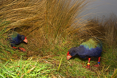 Takahe (Porphyrio mantelli) pair in grass, South Island, New Zealand  -  Stephen Belcher