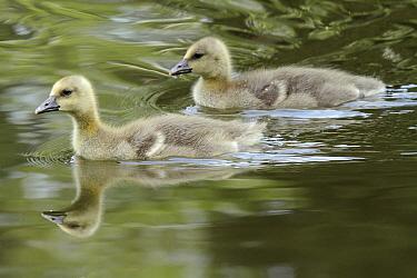 Greylag Goose (Anser anser) goslings, Kassel, Hessen, Germany  -  Duncan Usher