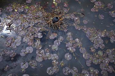 Coot (Fulica atra) nesting amongst lily pads, Kassel, Hessen, Germany  -  Duncan Usher