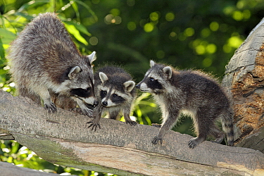 Raccoon (Procyon lotor) parent with juveniles, Neuhaus, Lower Saxony, Germany  -  Duncan Usher