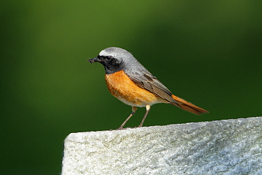 Common Redstart (Phoenicurus phoenicurus) male on gravestone, Kassel, Hessen, Germany  -  Duncan Usher