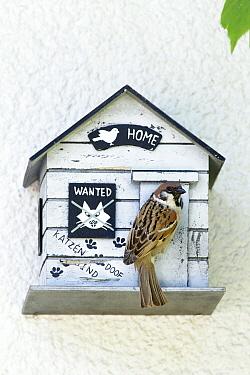 Eurasian Tree Sparrow (Passer montanus) at nest box entrance, Bursfelde, Lower Saxony, Germany  -  Duncan Usher