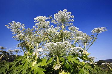 Giant Hogweed (Heracleum mantegazzianum) flowering, invasive weed, Bursfelde, Lower Saxony, Germany  -  Duncan Usher