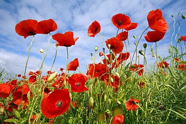 Red Poppy (Papaver rhoeas) field, Bursfelde, Lower Saxony, Germany  -  Duncan Usher