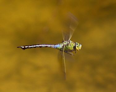 Emperor Dragonfly (Anax imperator) flying, Oranjezon, Zeeland, Netherlands  -  Marcel Klootwijk/ NiS