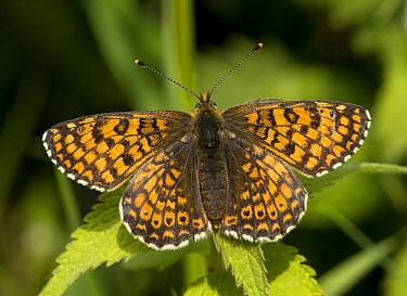 Glanville Fritillary (Melitaea cinxia) butterfly, Bemelerberg, Limburg  -  Marcel Klootwijk/ NiS