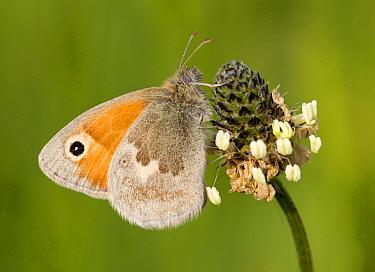 Small Heath (Coenonympha pamphilus) butterfly, Oranjezon, Zeeland, Netherlands  -  Marcel Klootwijk/ NiS