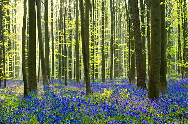 English Bluebell (Hyacinthoides nonscripta) flowering in forest understory, Halle, Flanders, Belgium  -  Loulou Beavers/ NiS