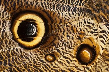 Owl Butterfly (Caligo memnon) wing showing false eyespots, Amsterdam, Noord-Holland, Netherlands  -  Jan van Arkel/ NiS