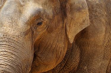 Asian Elephant (Elephas maximus) face, Emmen, Drenthe, Netherlands  -  Jan van Arkel/ NiS