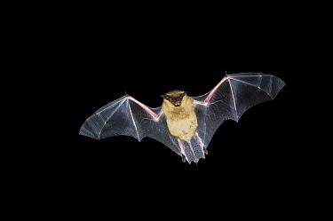 Serotine (Eptesicus serotinus) bat flying, Eesveen, Overijssel, Netherlands  -  Jan van Arkel/ NiS