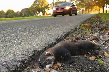 European Polecat (Mustela putorius) roadkill, Gasteren, Drenthe, Netherlands  -  Jan van Arkel/ NiS