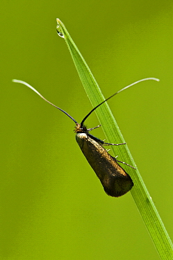 Green Longhorn (Adela reaumurella) moth female, Eesveen, Overijssel, Netherlands  -  Jan van Arkel/ NiS