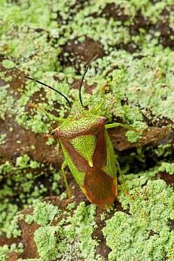 Shield Bug (Acanthosoma haemorrhoidale) camouflaged on lichen, Eesveen, Overijssel, Netherlands  -  Jan van Arkel/ NiS