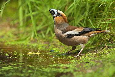 Hawfinch (Coccothraustes coccothraustes) male drinking, Eesveen, Overijssel, Netherlands  -  Jan van Arkel/ NiS