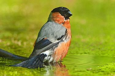 Eurasian Bullfinch (Pyrrhula pyrrhula) pauses while bathing, Eesveen, Overijssel, Netherlands  -  Jan van Arkel/ NiS
