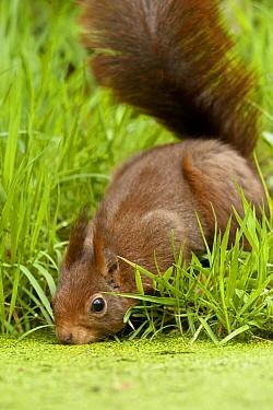 Eurasian Red Squirrel (Sciurus vulgaris) drinking from pond, Eesveen, Overijssel, Netherlands  -  Jan van Arkel/ NiS