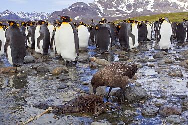King Penguin (Aptenodytes patagonicus) colony with Antarctic Skua (Catharacta antarctica) feeding on dead penguin chick, South Georgia Island  -  Otto Plantema/ Buiten-beeld