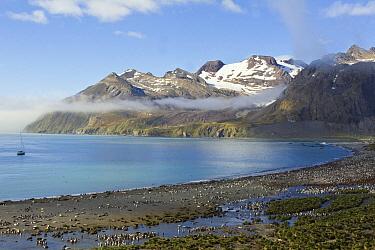 King Penguin (Aptenodytes patagonicus) and Southern Elephant Seal (Mirounga leonina) colony, Gold Harbour, South Georgia Island  -  Otto Plantema/ Buiten-beeld