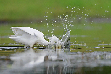 Little Egret (Egretta garzetta) fishing, La Brenne Regional Nature Park, Indre, France  -  Danny Laps/ NiS