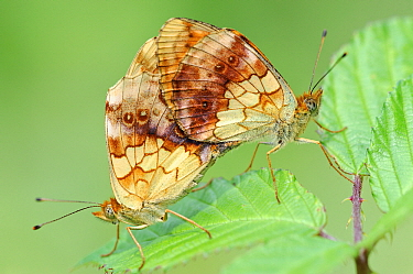 Marbled Fritillary (Brenthis daphne) butterflies mating on Bramble (Rubus sp) leaf, La Brenne Regional Nature Park, Indre, France  -  Danny Laps/ NiS