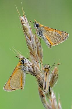 Small Skipper (Thymelicus sylvestris) butterfly trio, La Brenne Regional Nature Park, Indre, France  -  Danny Laps/ NiS