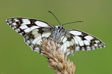 Marbled White (Melanargia galathea) butterfly, La Brenne Regional Nature Park, Indre, France  -  Danny Laps/ NiS