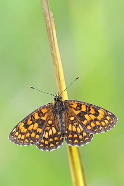 Heath Fritillary (Melitaea athalia) butterfly, La Brenne Regional Nature Park, Indre, France  -  Danny Laps/ NiS