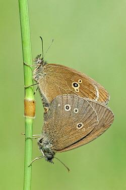 Ringlet (Aphantopus hyperantus) butterfly pair mating, Gaume, Lorraine, Belgium  -  Danny Laps/ NiS