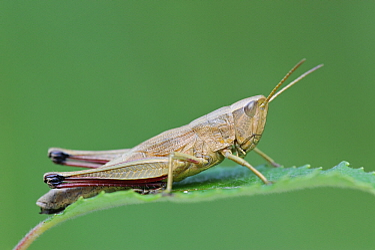 Large Gold Grasshopper (Chrysochraon dispar), Gaume, Lorraine, Belgium  -  Danny Laps/ NiS