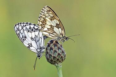 Marbled White (Melanargia galathea) butterfly pair mating, Gaume, Lorraine, Belgium  -  Danny Laps/ NiS