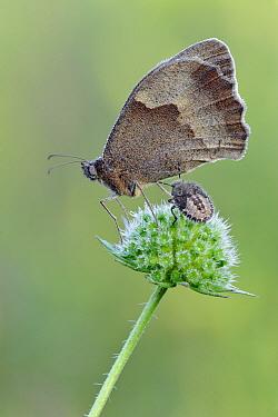 Meadow Brown (Maniola jurtina) butterfly, Gaume, Lorraine, Belgium  -  Danny Laps/ NiS