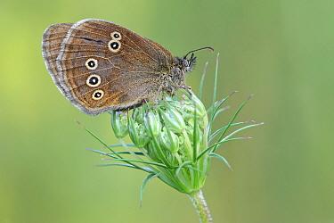 Ringlet (Aphantopus hyperantus) butterfly showing false eyespots, Gaume, Lorraine, Belgium  -  Danny Laps/ NiS