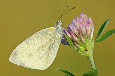 Cabbage White (Pieris rapae) butterfly on flower, Gaume, Lorraine, Belgium  -  Danny Laps/ NiS