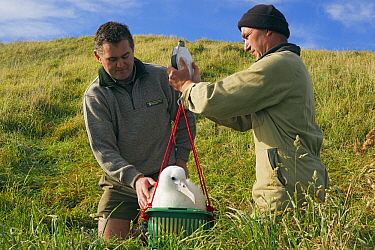 Northern Royal Albatross (Diomedea sanfordi) chick being weighed by researchers, Taiaroa Head, Otago Peninsula, New Zealand  -  Stephen Belcher
