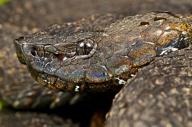 Ecuadorian Toad-headed Pit-viper (Bothrocophias campbelli), Mindo, Pichincha Province, Ecuador, South America  -  James Christensen