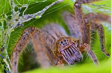 Wandering Spider (Phoneutria sp) female at nest entrance, Mindo, Pichincha Province, Ecuador, South America  -  James Christensen