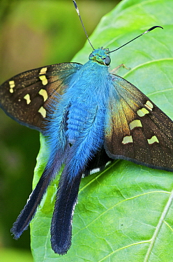 Esmeralda Longtail (Urbanus esmeraldus) butterfly in cloud forest, Andes, Mindo, Pichincha Province, Ecuador, South America  -  James Christensen