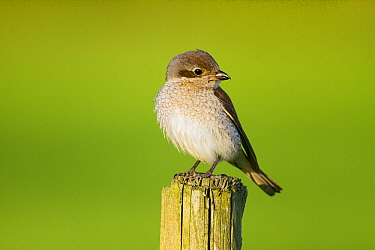 Red-backed Shrike (Lanius collurio) female, Friesland, Netherlands  -  Henny Brandsma/ Buiten-beeld