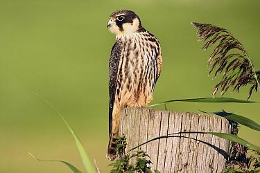 Eurasian Hobby (Falco subbuteo), Friesland, Netherlands  -  Ruurd Jelle van der Leij/ Buiten-beeld