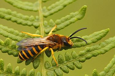 Plasterer Bee (Colletes sp), Les Eyzies-de-Tayac, Dordogne, France  -  Silvia Reiche