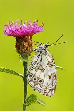 Marbled White (Melanargia galathea) butterfly resting on flower, Les Eyzies-de-Tayac, Dordogne, France  -  Silvia Reiche