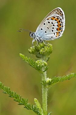 Silver-studded Blue (Plebejus argus) butterfly resting on flower bud, Les Eyzies-de-Tayac, Dordogne, France  -  Silvia Reiche