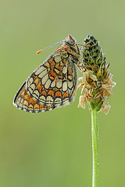 Meadow Fritillary (Mellicta parthenoides) butterfly resting on flower bud, Les Eyzies-de-Tayac, Dordogne, France  -  Silvia Reiche